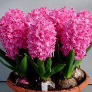 Цветы гиацинты: посадка и уход
