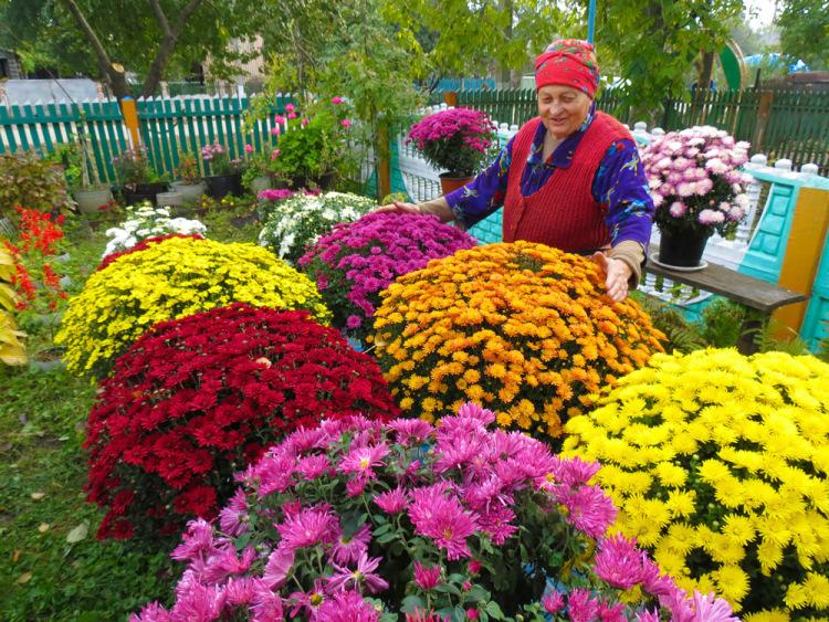 Хризантема корейская: выращивание из семян