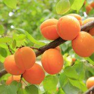 Как привить абрикос на абрикос видео