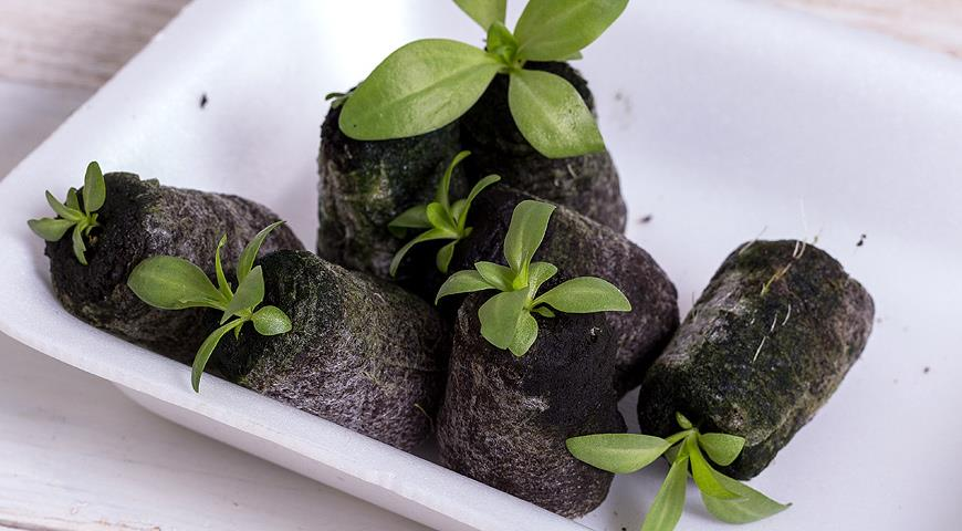 Как вырастить Эустому из семян в домашних условиях