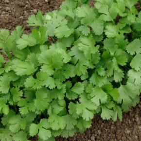 Выращивание кинзы в открытом грунте