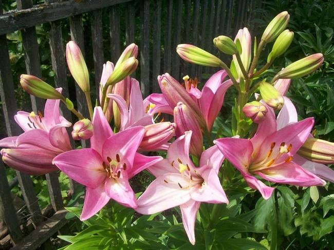 Лилии посадка и уход в открытом грунте весной