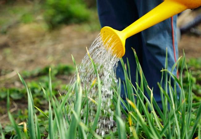 Лук батун: выращивание рассадой