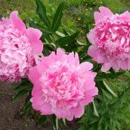 Пионы: посадка и уход в открытом грунте весной