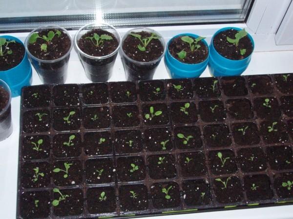 Как вырастить примулу из семян в домашних условиях