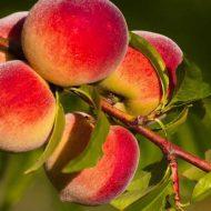 Как привить персик на абрикос?