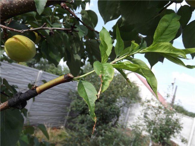 Как привить персик на абрикос
