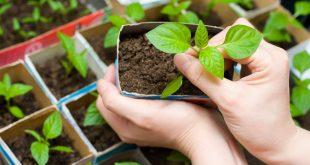 Удобрения для рассады томатов и перца в домашних условиях