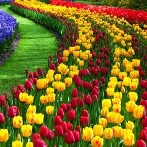 Тюльпаны: посадка и уход в открытом грунте