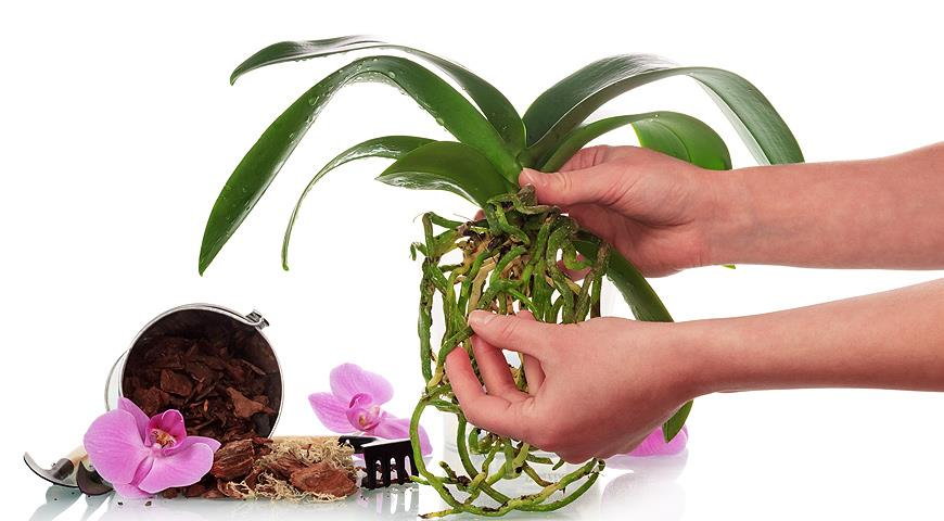 Замачивание семян в янтарной кислоте