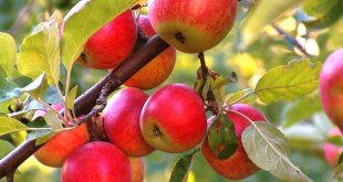Чем подкормить яблони и груши весной