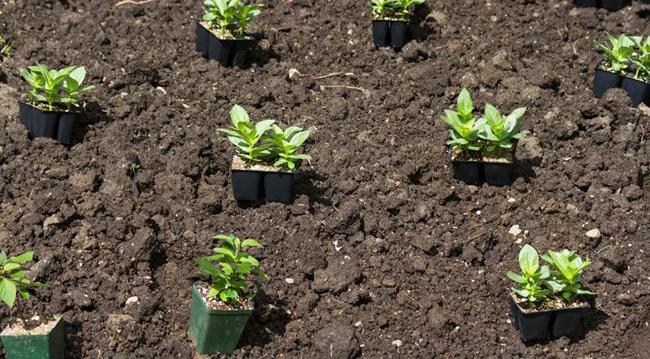 Циния рассада выращивание