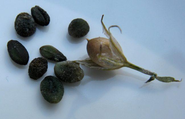Флокс друммонда выращивание из семян когда сажать