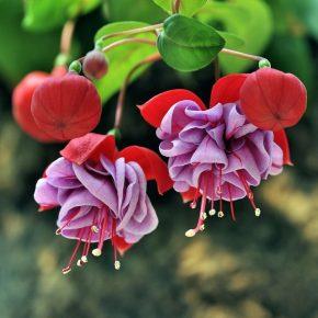 Фуксия в саду: выращивание и уход