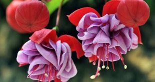 Фуксия в саду выращивание и уход