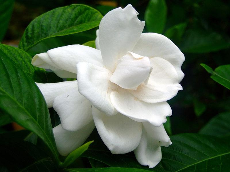 советы по уходу за комнатными розами в