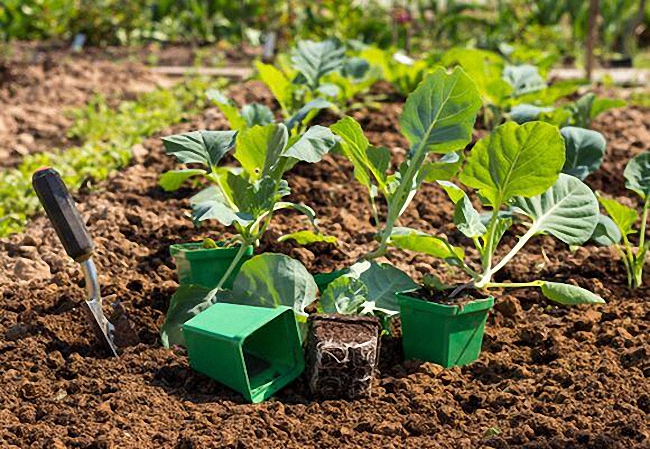 Как вырастить раннюю капусту в домашних условиях