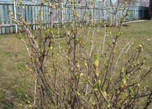 Когда опрыскивать смородину от вредителей весной