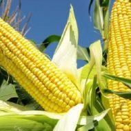 Кукуруза: посадка и уход в открытом грунте