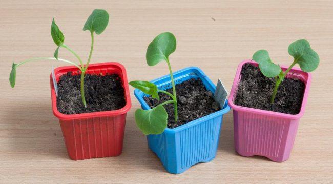 Мирабилис выращивание из семян в домашних условиях