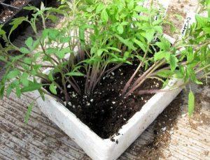 Подкормка рассады помидоров золой