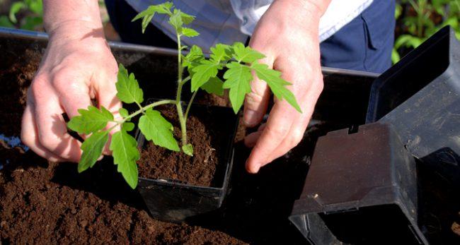 Трипсы на рассаде томатов