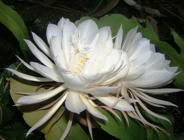 Цветок Кадупул: самый дорогой цветок в мире!