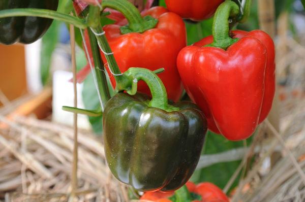 Удобрение для рассады перца в домашних условиях