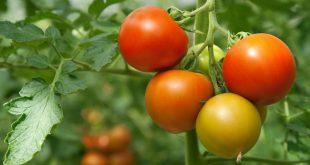 Удобрение для рассады помидор
