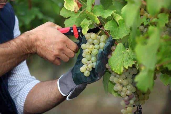 Виноград выращивание и уход в средней полосе