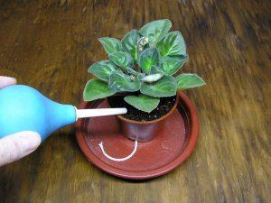 Чем подкормить фиалки чтобы цвели в домашних условиях