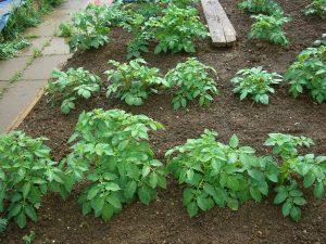 Чем подкормить картофель во время цветения