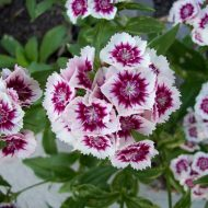 Гвоздика Шабо: выращивание из семян