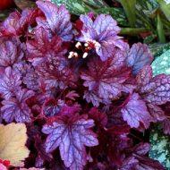 Гейхера из семян: выращивание