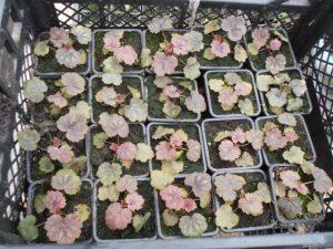 Гейхера из семян выращивание