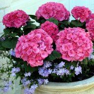 Гортензия: выращивание и уход в саду