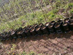 Как посадить саженец яблони весной