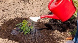 Как правильно посадить плетистую розу весной
