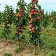 Колоновидные яблони: посадка и уход, фото