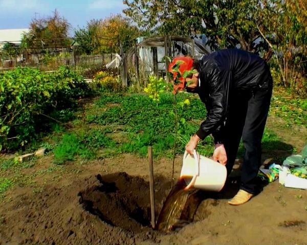 Колоновидные яблони посадка и уход фото
