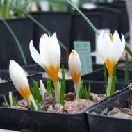 Крокусы: выращивание и уход в домашних условиях