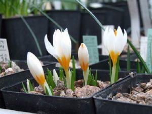 Крокусы выращивание и уход в домашних условиях