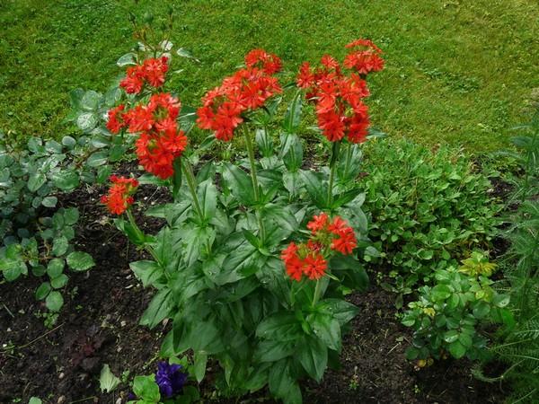 Лихнис выращивание из семян