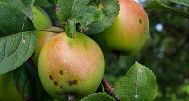 Листовертка на яблоне как бороться