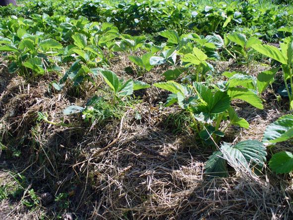 Мульчирование клубники скошенной травой