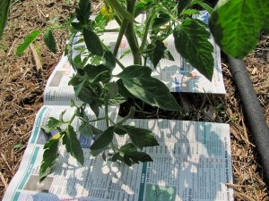 Мульчирование помидоров в теплице опилками и древесной корой