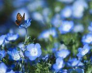 Незабудка садовая: выращивание из семян