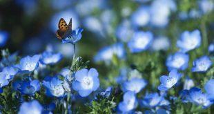 Незабудка садовая выращивание из семян