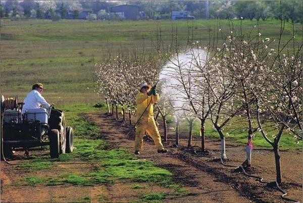 Парша на яблоне – является довольно распространенным и вредоносным заболеванием. Деревья погибают от него редко, но зато страдает их урожайность.