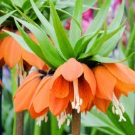 Почему не цветет рябчик императорский?